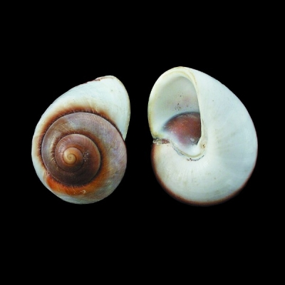 Polished Jumbo Land Snail